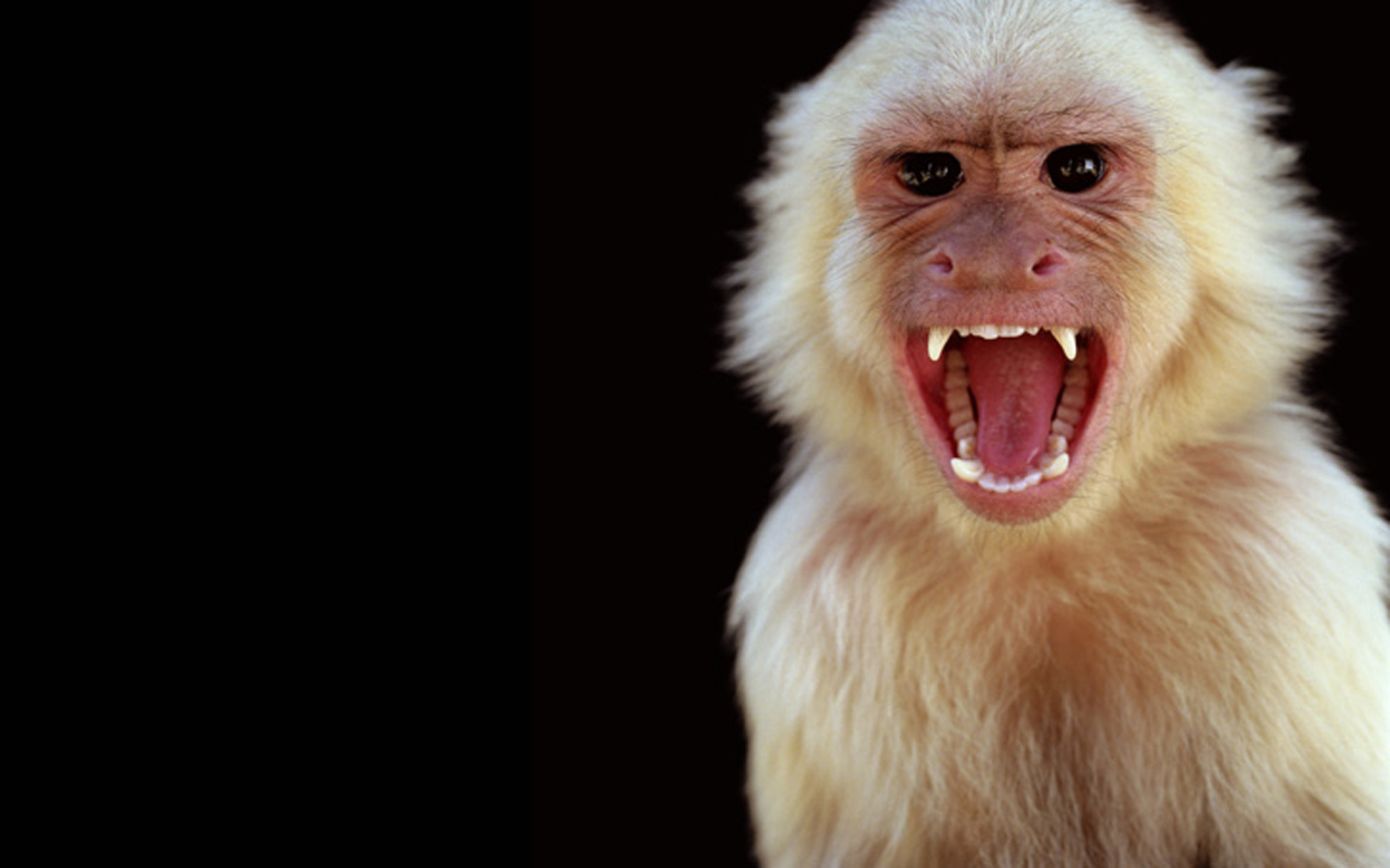 Rupee Capuchin Monkey photo shoot