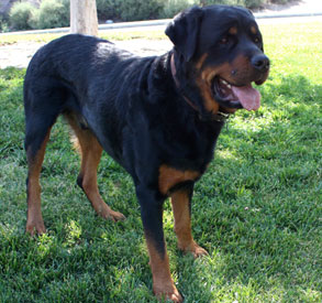 Profile of Bruno the Rottweiler
