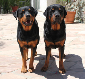 Bruno & Dutch - Rottweiler Team