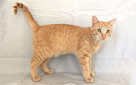 Orange Tabby Housecat - Captain