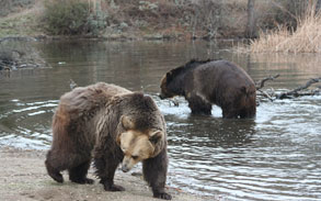 Bam Bam & Pebbles - Working Grizzly Bears