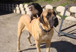 Capuchin Monkey sitting on Dog