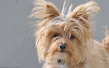 Toby - Yorkshire Terrier