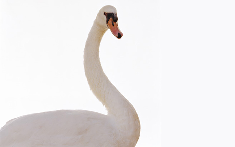 Swans Swans