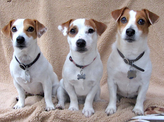 Organic Therapy Concepts for Your Jack Russell Terrier