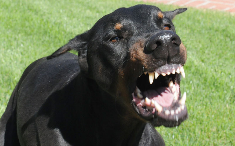 Doberman Pinscher Snarling