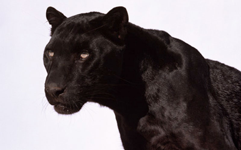 Black Panther photo Images Of Panthers