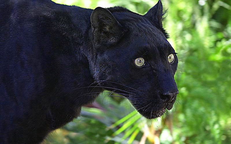 Black Leopard  Panther Images Of Panthers